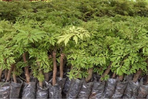 Các loại cây Đinh Lăng và cách phân biệt.