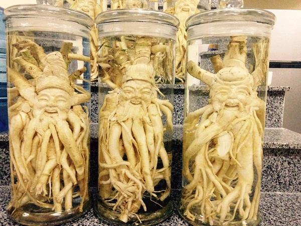 Giải đáp vì sao cây Đinh Lăng được gọi là nhân sâm của người Việt.