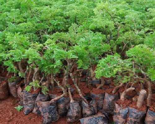 Đặc điểm sinh thái và nguồn gốc xuất xứ của Đinh Lăng