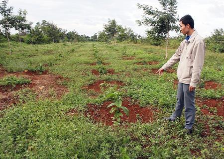 Kỹ thuật trồng cây Cà Phê bền vững và năng suất
