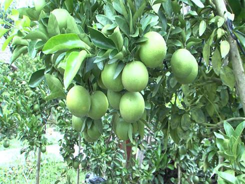 Kỹ thuật trồng và chăm sóc cây Cam Xoàn