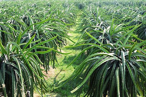 Kỹ thuật trồng cây Thanh Long năng suất cao