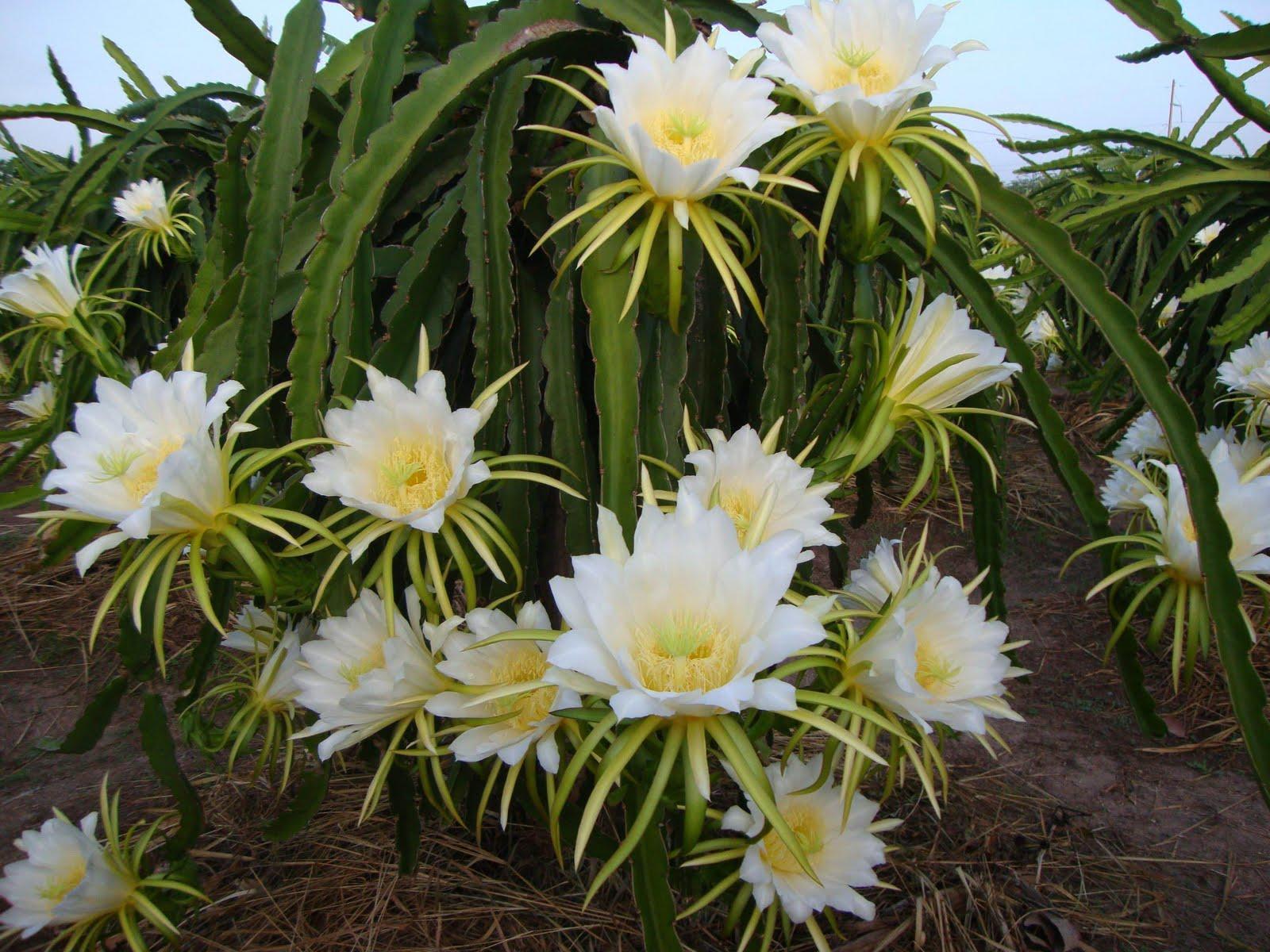 Những điều cần biết về thuốc bảo vệ thực vật trong kỹ thuật trồng Thanh Long