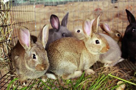 Kỹ thuật chọn giống Thỏ tốt nhất cho người nuôi trồng
