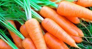 Kỹ thuật trồng cà rốt và cách chăm sóc cho năng suất chất lượng cao