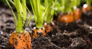 Các loại Sâu bệnh hại cà rốt và cách phòng trừ