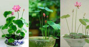 Cách trồng Sen Mini Nhật Bản thủy canh mới nhất và hiệu quả nhất