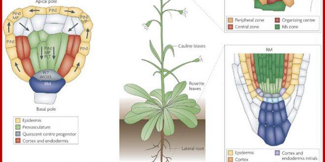 Tìm hiểu về các loại hoocmon ức chế sinh trưởng