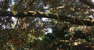 Những tiêu chí của một cây giống Sầu Riêng tốt