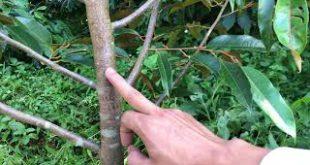 Cách tỉa cành tạo tán cây Sầu Riêng con năm nhất năm 2 hiệu quả nhất